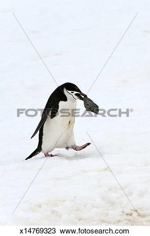 Stock Photo of Chinstrap penguin carrying a stone x14769323.