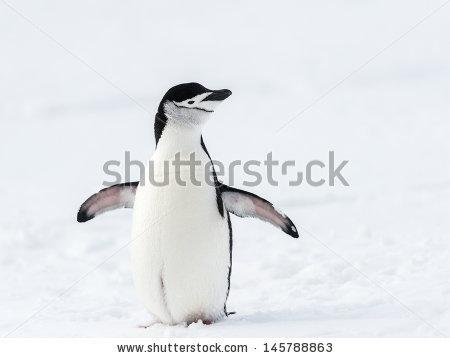 Chinstrap Penguin Stock Photos, Royalty.