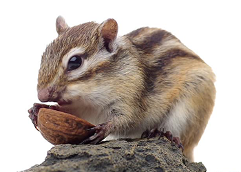 Chipmunk Png (91+ Images In Collection) #161211.