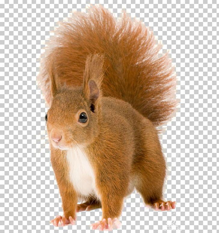Red Squirrel Tree Squirrels Rodent Eastern Gray Squirrel Chipmunk.