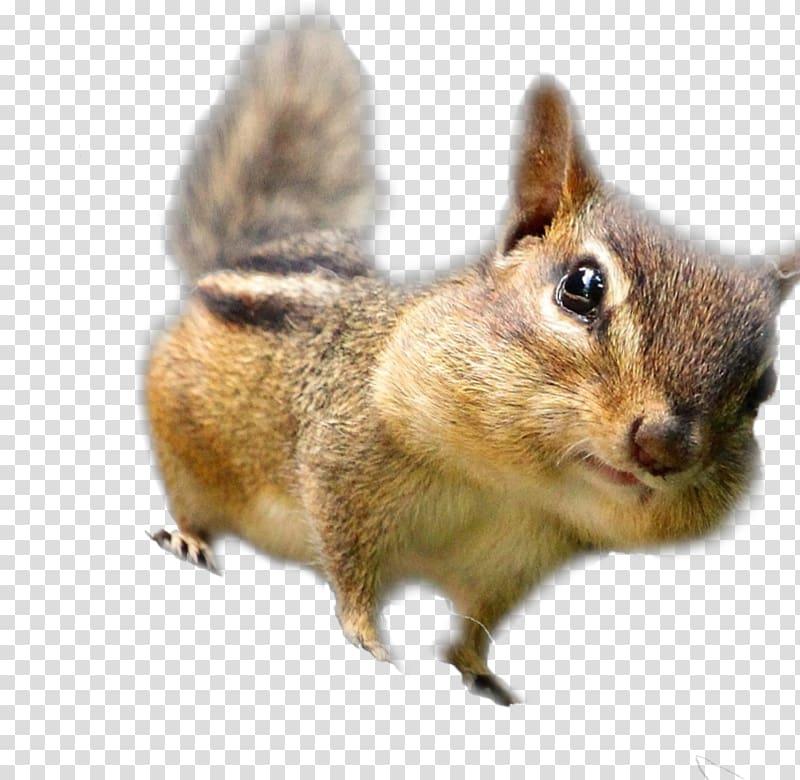Chipmunk Fox squirrel Whiskers Fur, squirrel transparent background.