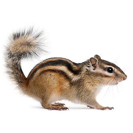 Download Free png Chipmunk Png (91+ images in Collection) Page 1.