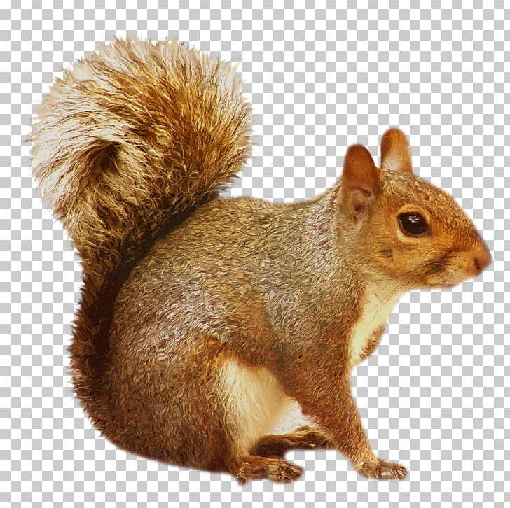 Chipmunk Squirrel Rodent PNG, Clipart, Animals, Chipmunk, Clip Art.