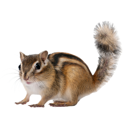 Chipmunk Png (91+ Images In Collection) #161221.