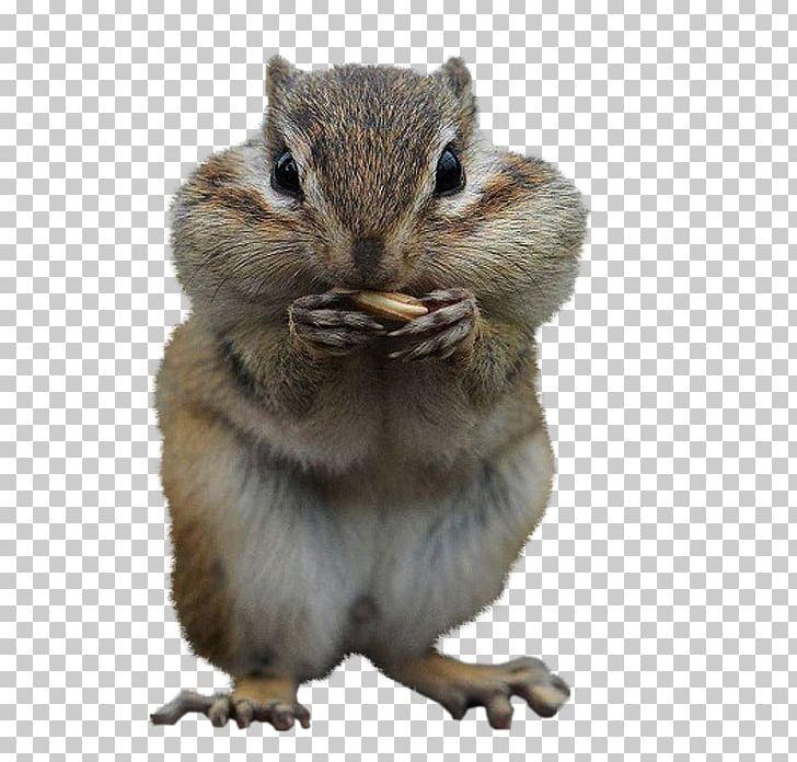 Squirrel Desktop Cuteness Chipmunk PNG, Clipart, Animal, Animals.