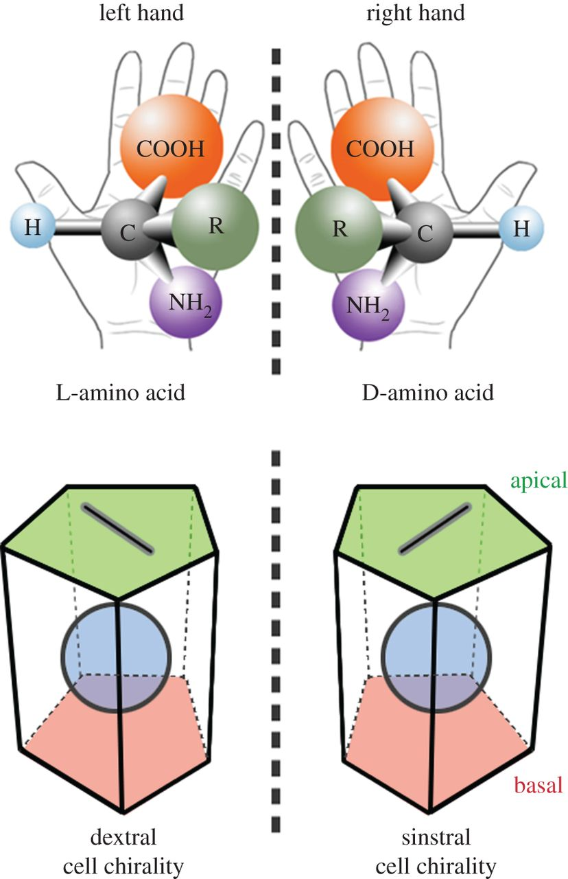 Cell chirality: its origin and roles in left.
