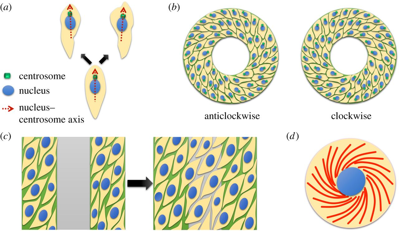 Cell chirality: emergence of asymmetry from cell culture.
