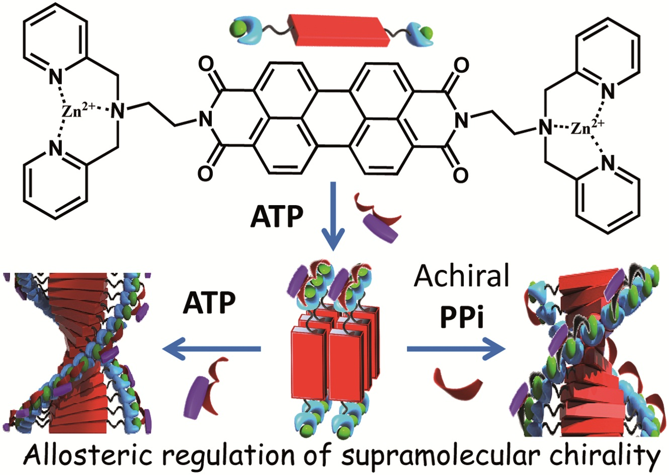 Inducing Supramolecular Chirality from Afar with Allostery.