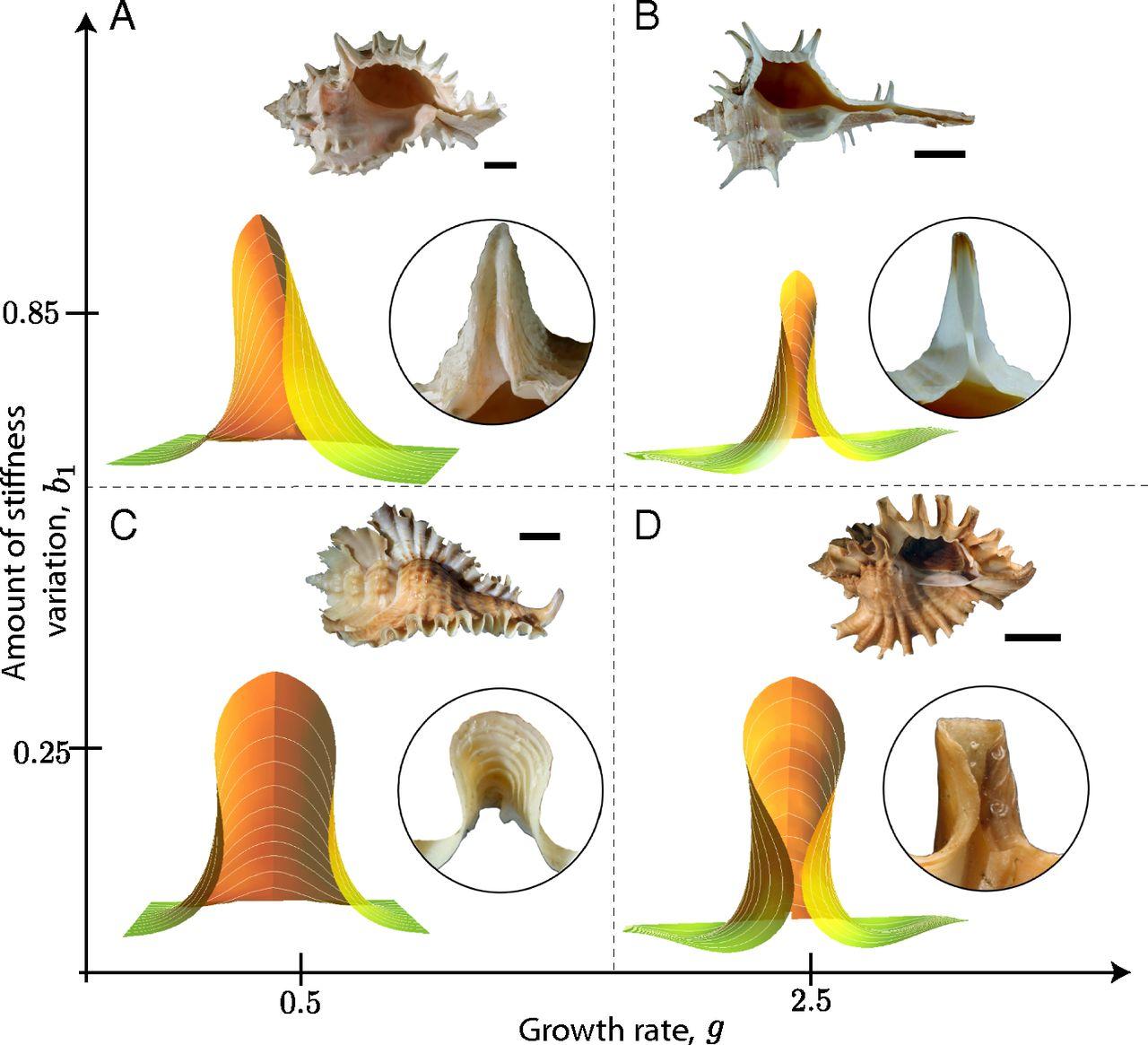 Mechanical basis of morphogenesis and convergent evolution of.