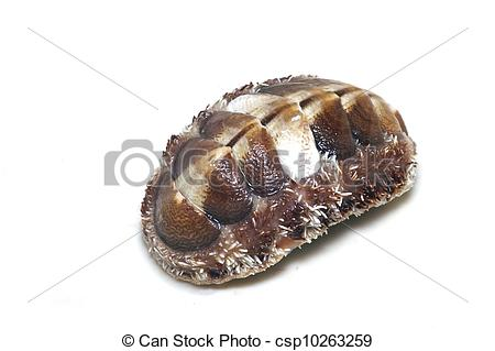 Stock Images of Sea chiton.