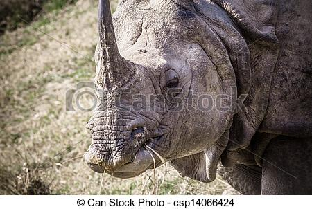 Stock Photo of Indian one horned rhinoceros at Royal Chitwan.