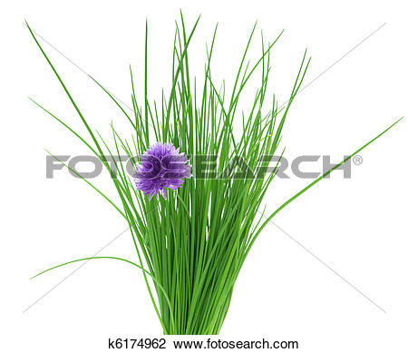 Stock Photo of chive flower k6174962.