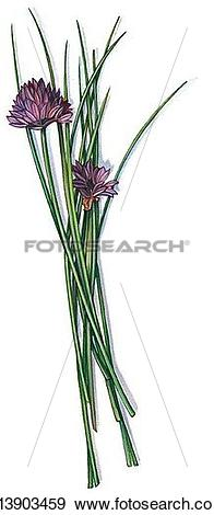 Stock Illustration of Chives x13903459.