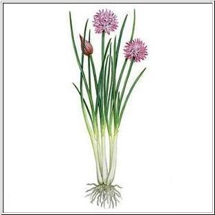 Chives Clip Art.