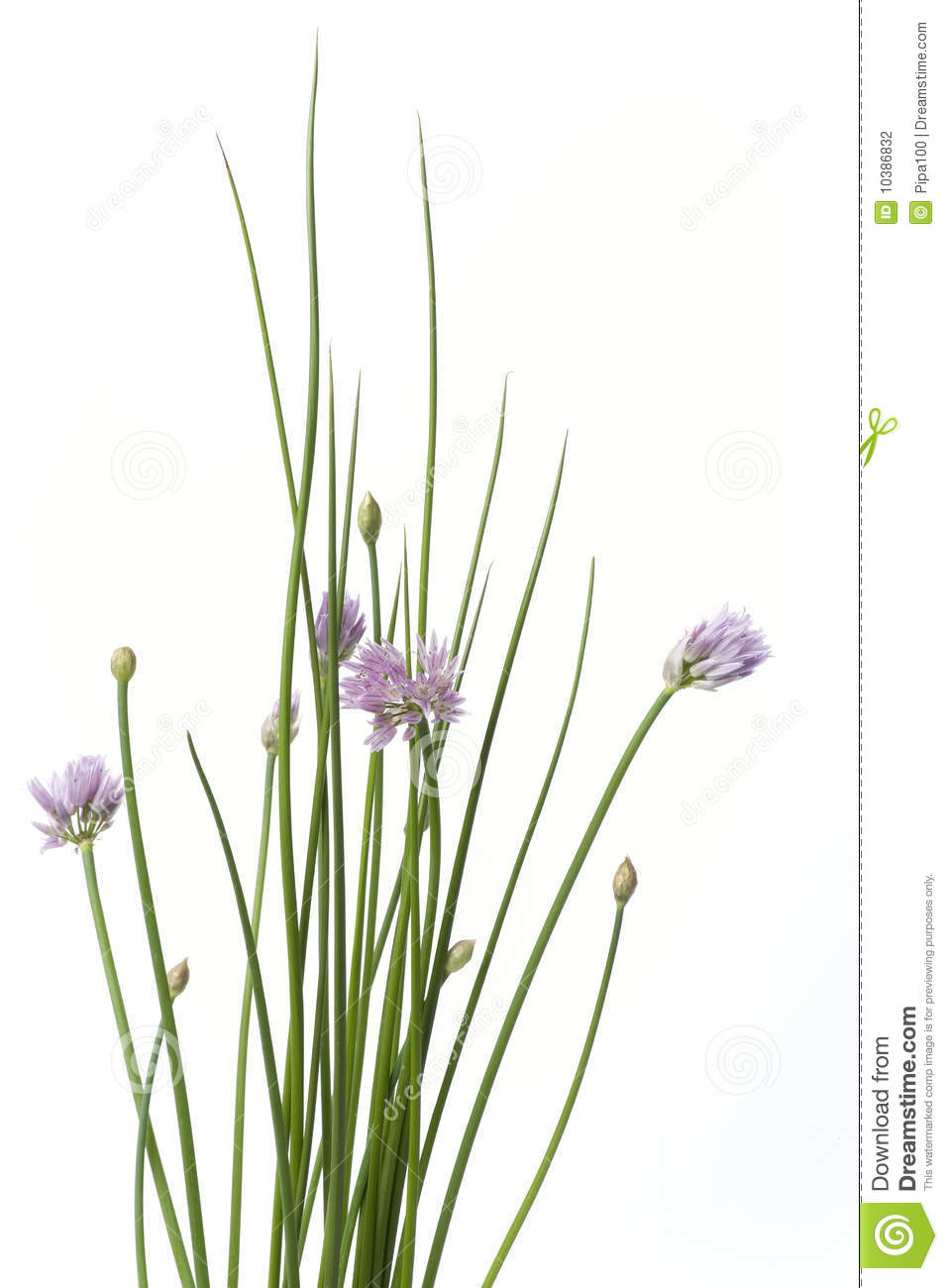 Chives With Purple Flowers Stock Photography.