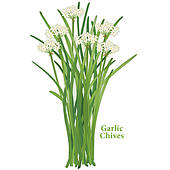 Chives Clipart Royalty Free. 272 chives clip art vector EPS.