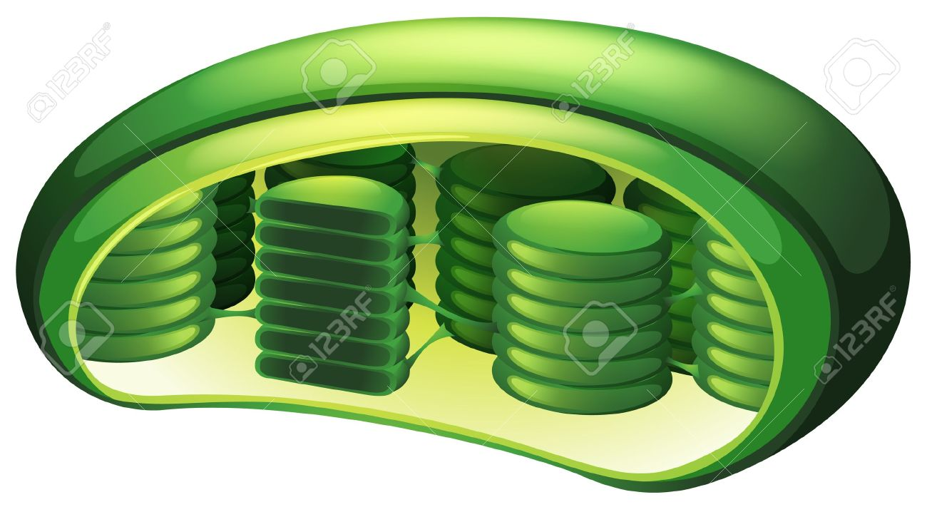 Illustration Of A Chloroplast Royalty Free Cliparts, Vectors, And.