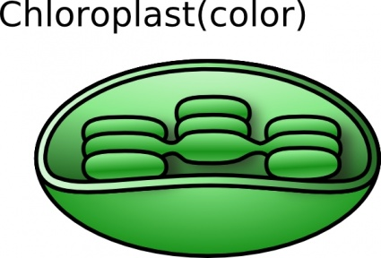 Chlorophyll clipart.