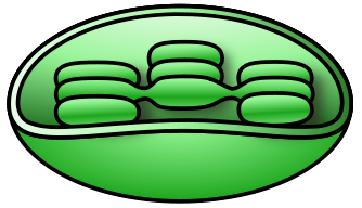 Chloroplast Clipart.