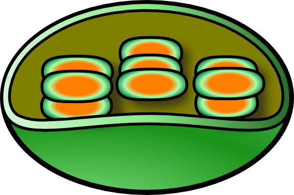 Chloroplast Clip Art at Clker.com.