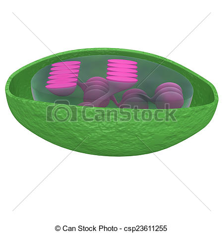 Stock Illustrations of Chloroplast are organelles, specialized.