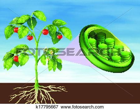 Chloroplast Clip Art Illustrations. 94 chloroplast clipart EPS.