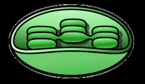 Chloroplast 2.