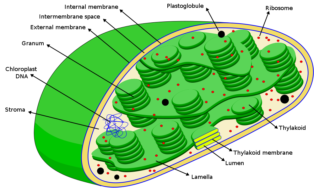 Chloroplasts Clipart 20 Free Cliparts