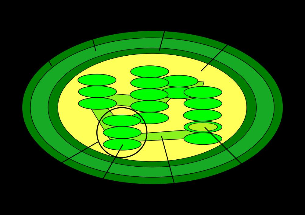 Chloroplasts Diagram.