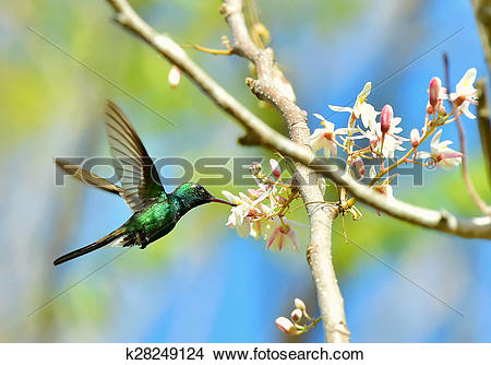 Stock Photo of Flying Cuban Emerald Hummingbird (Chlorostilbon.