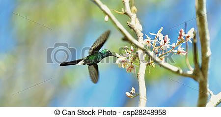 Stock Images of Flying Cuban Emerald Hummingbird (Chlorostilbon.