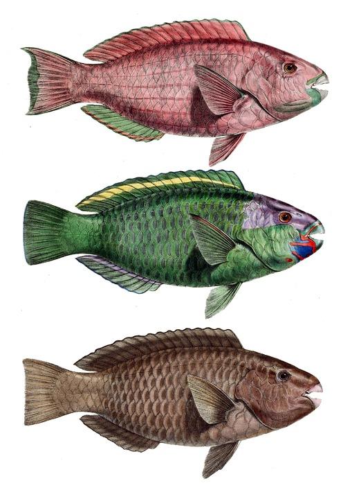 Free photo Parrot Fish Notched Bar Chlorurus Troschelii Perch.