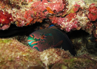 Gobiusculus flavescens, Spotted goby, two spot goby, two.