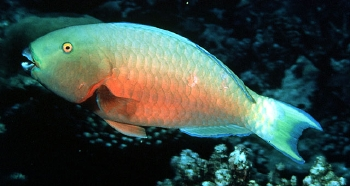 Section: Fish Library: Group: Parrotfishes: Species: Chlorurus.