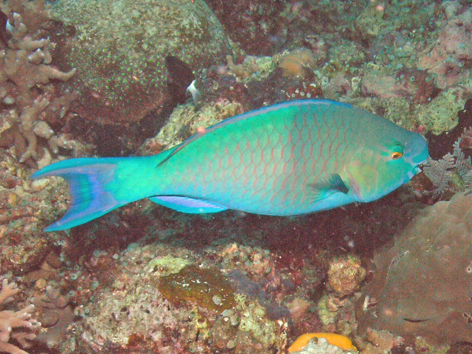 File:Greenhead Parrotfish, Bunaken Island.jpg.