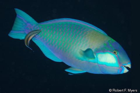 Chlorurus bleekeri (Bleeker's Parrotfish).