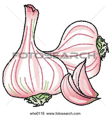 Drawings of Onions whe0124.