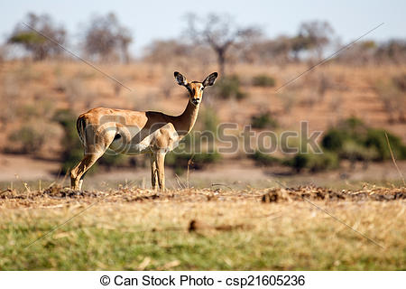 Stock Photos of Impala.