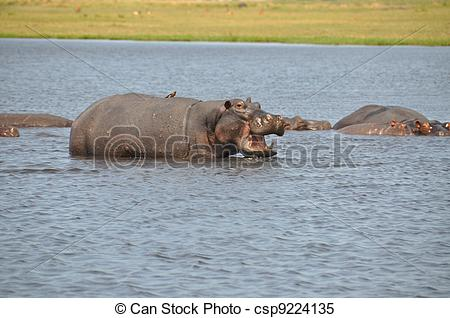 Stock Images of Hippopotamus Chobe River Botswana.