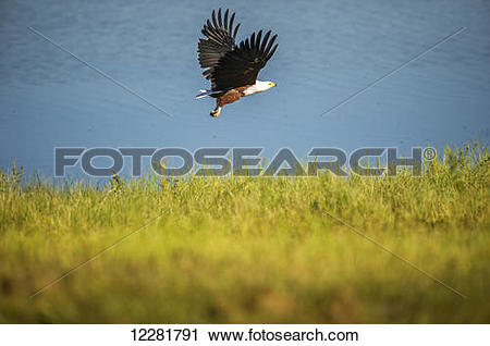 Stock Photography of Fish Eagle (Haliaeetus vocifer), Chobe.