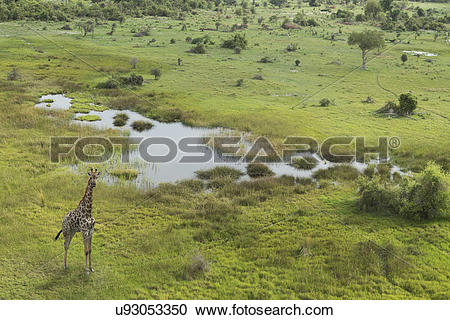 Stock Photography of Aerial view of giraffe, Okavango Delta, Chobe.