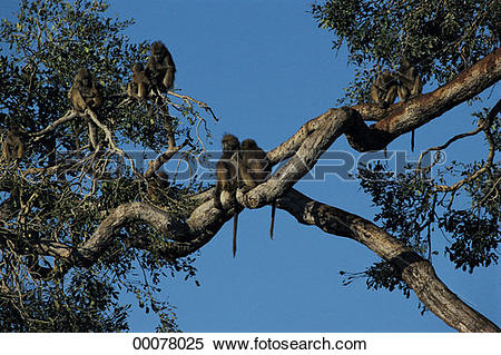 Stock Image of Baboon in tree, Chobe National Park, Botswana.