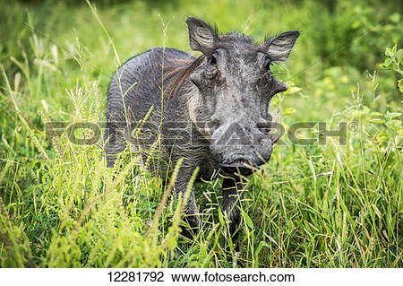 Stock Photo of Warthog (Phacochoerus africanus), Chobe National.