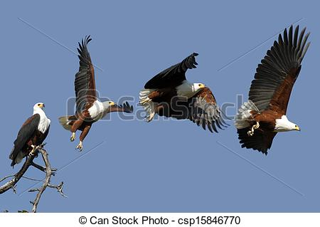 Picture of African Fish Eagle in Chobe National Park in Botswana.