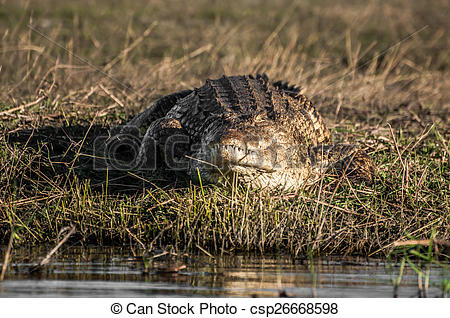 Stock Photographs of Nile crockodile at Chobe on bank of river.