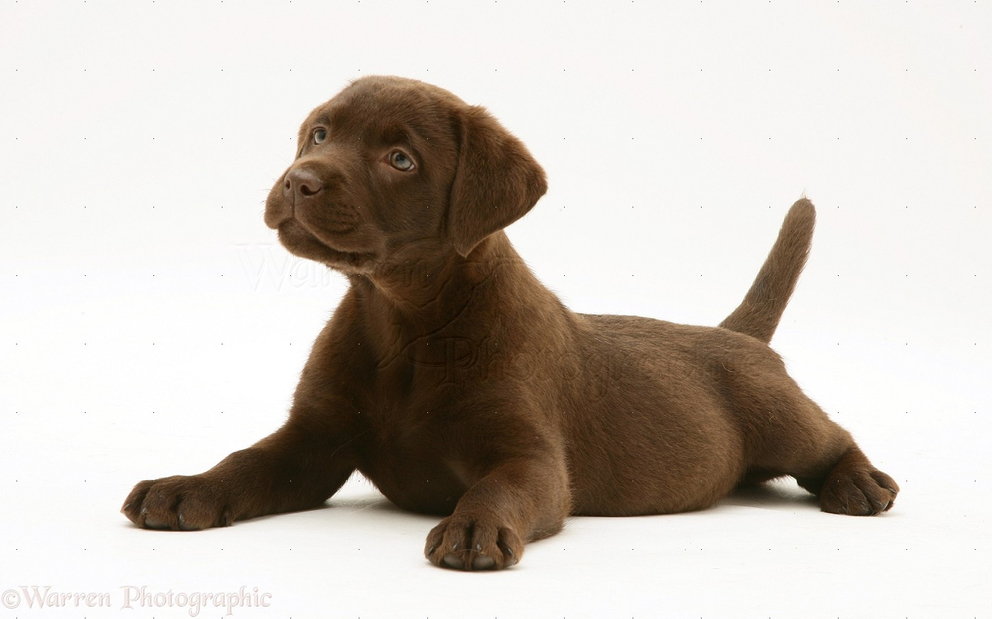 Dog: Chocolate Labrador Retriever pup photo.
