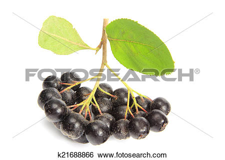 Stock Images of Black chokeberry (Aronia melanocarpa) k21688866.