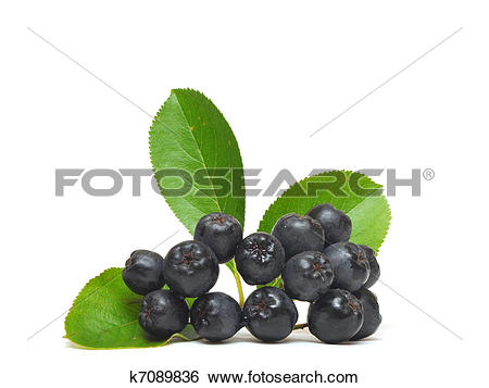 Stock Images of black chokeberry, Aronia melanocarpa k7089836.