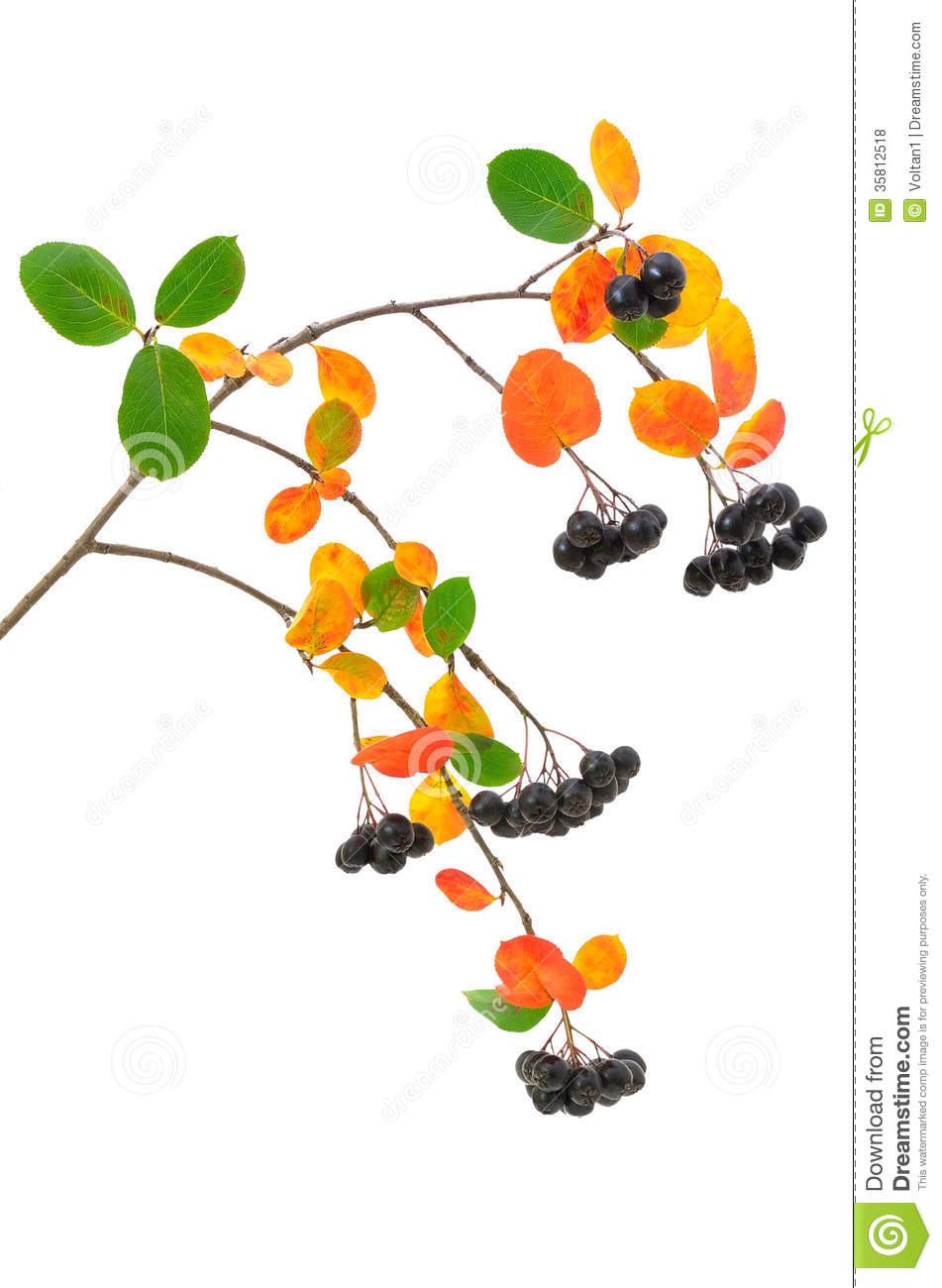 Black Chokeberry (Aronia Melanocarpa) Branch Royalty Free Stock.
