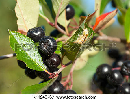 Picture of Chokeberry (aronia) k11243767.